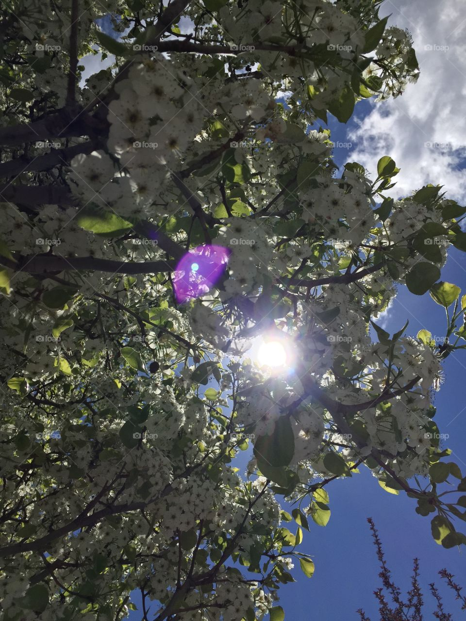 Sunny Cherry Blossoms