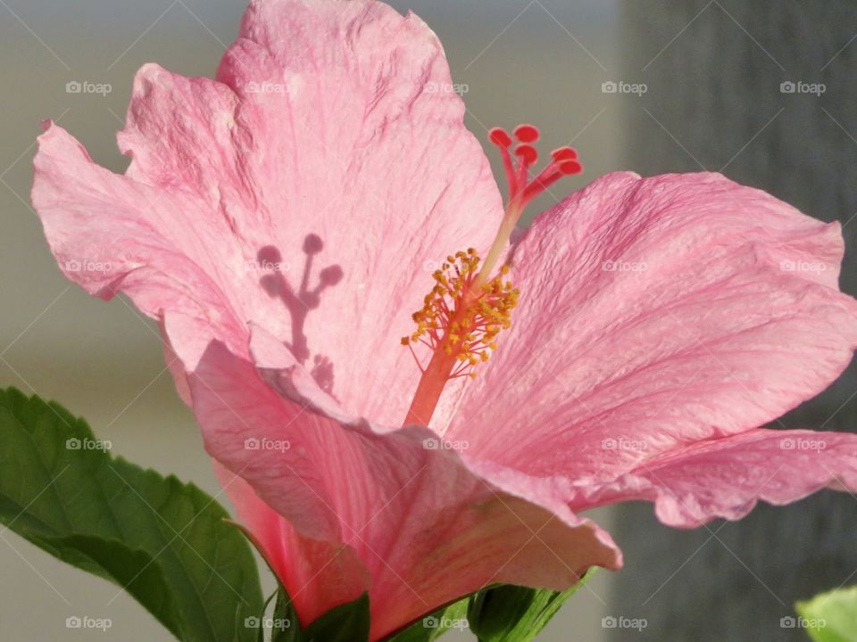 Hibiscus and shadow