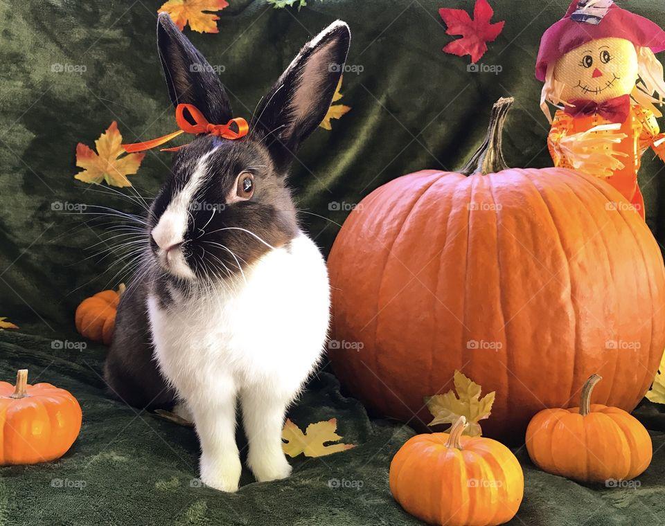 Thanksgiving pumpkins and bunny rabbit