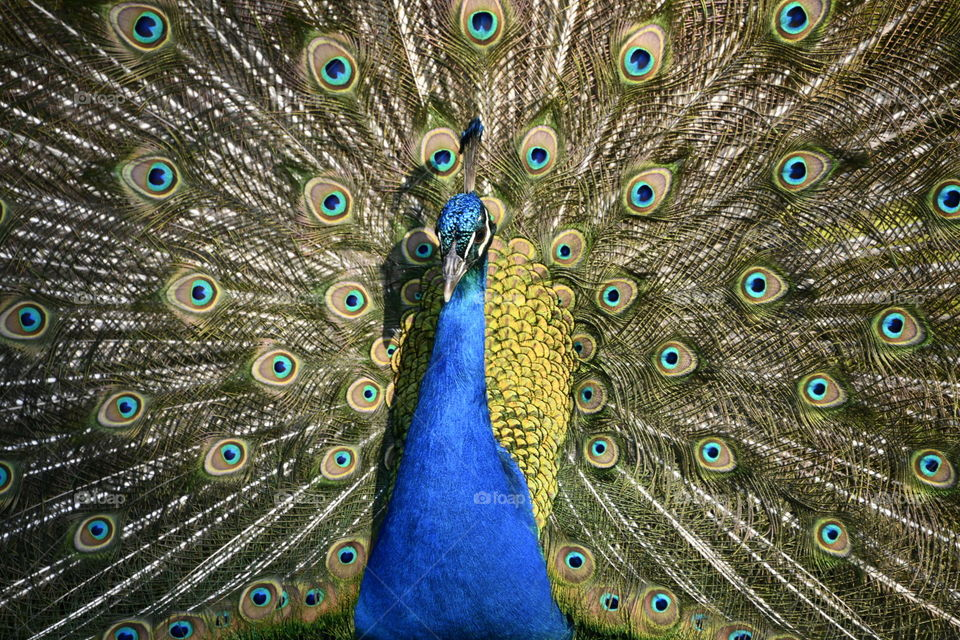 Pavo Real Peacock