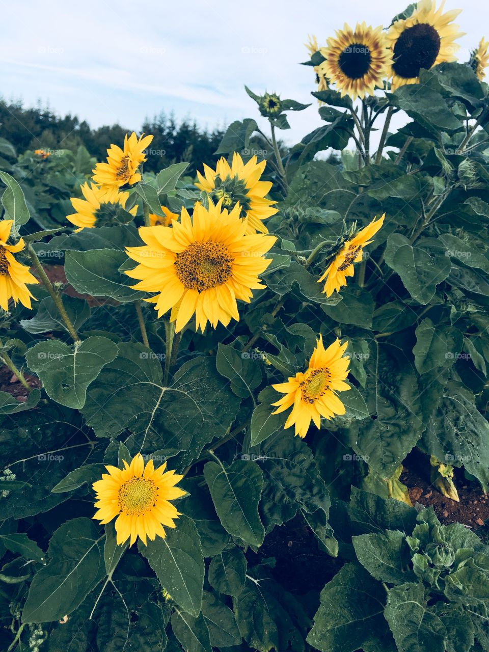Bright, yellow Sunflowers surrounded by green leaves growing in the garden.
