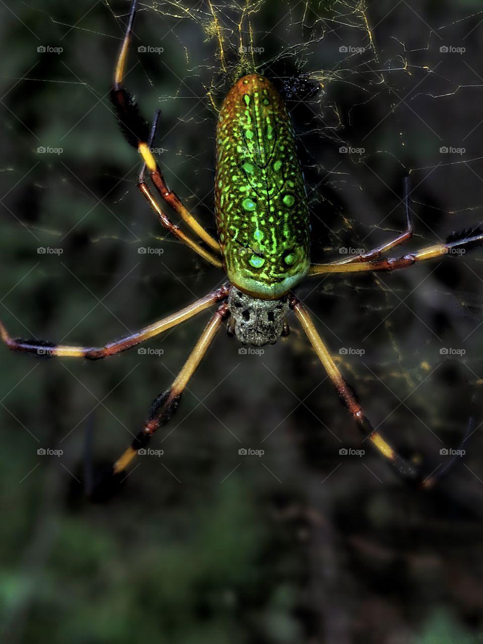 Adult Banana Spider (Life size)