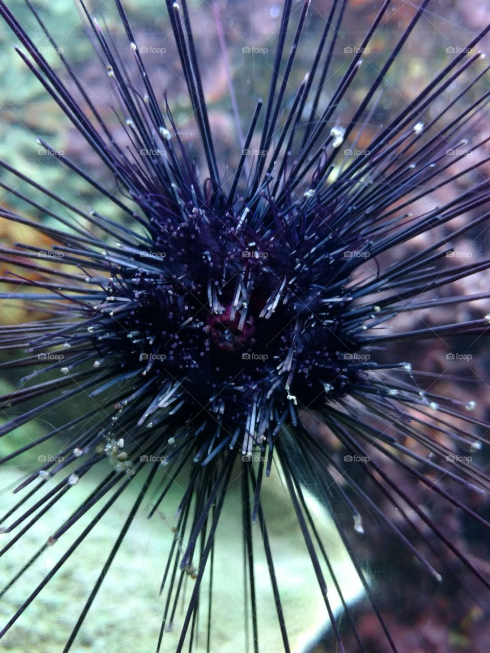 Suspended Sea Urchin on/through glass