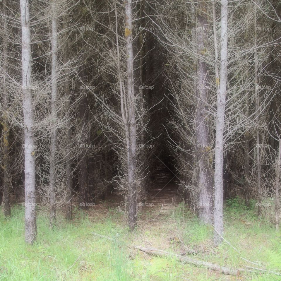 Eerie atmosphere amongst rows of trees in the grasses on the edge of a forest and agricultural land on a spring day in Western Oregon.