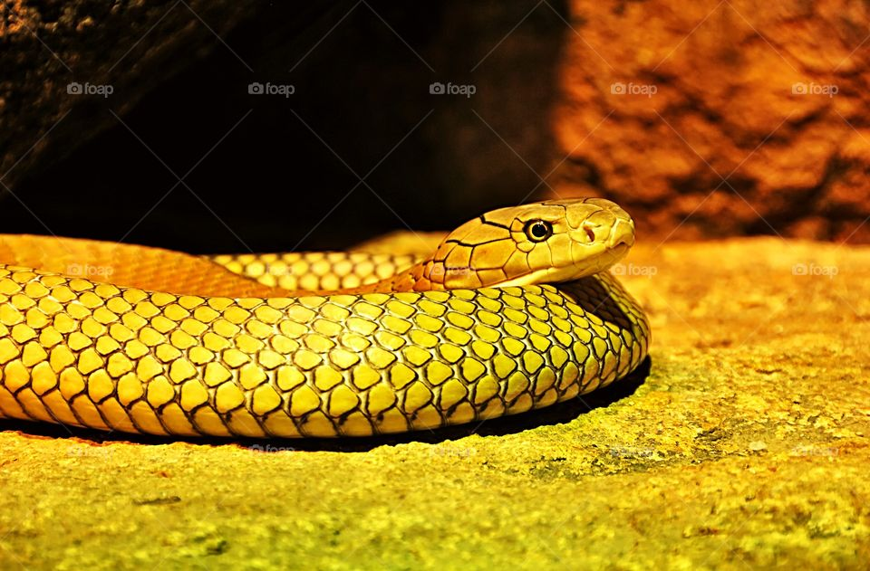 Portrait of a yellow snake. Species unknown. Any suggestions anyone?