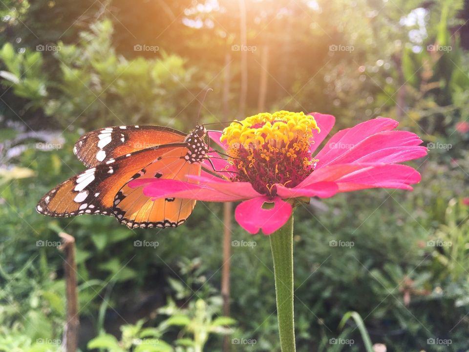 Beautiful butterfly on pink zinnia flower
