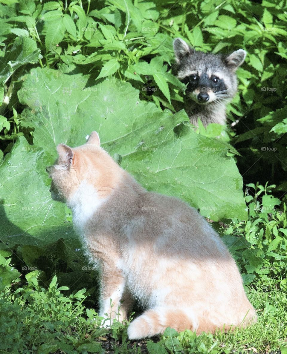 Raccoon peeking out from behind some leaves to lol at a cat