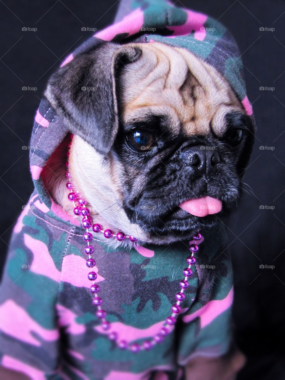 Studio shot of pug wearing cloths and necklace