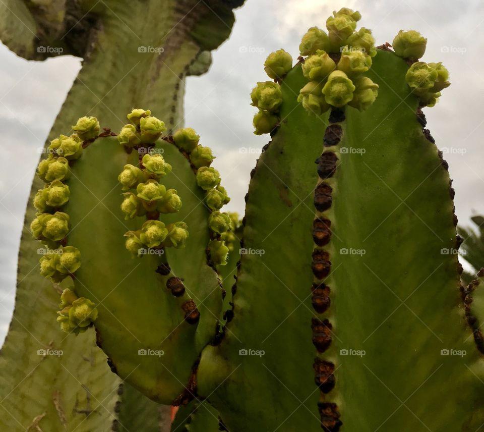 cactus bud closeup