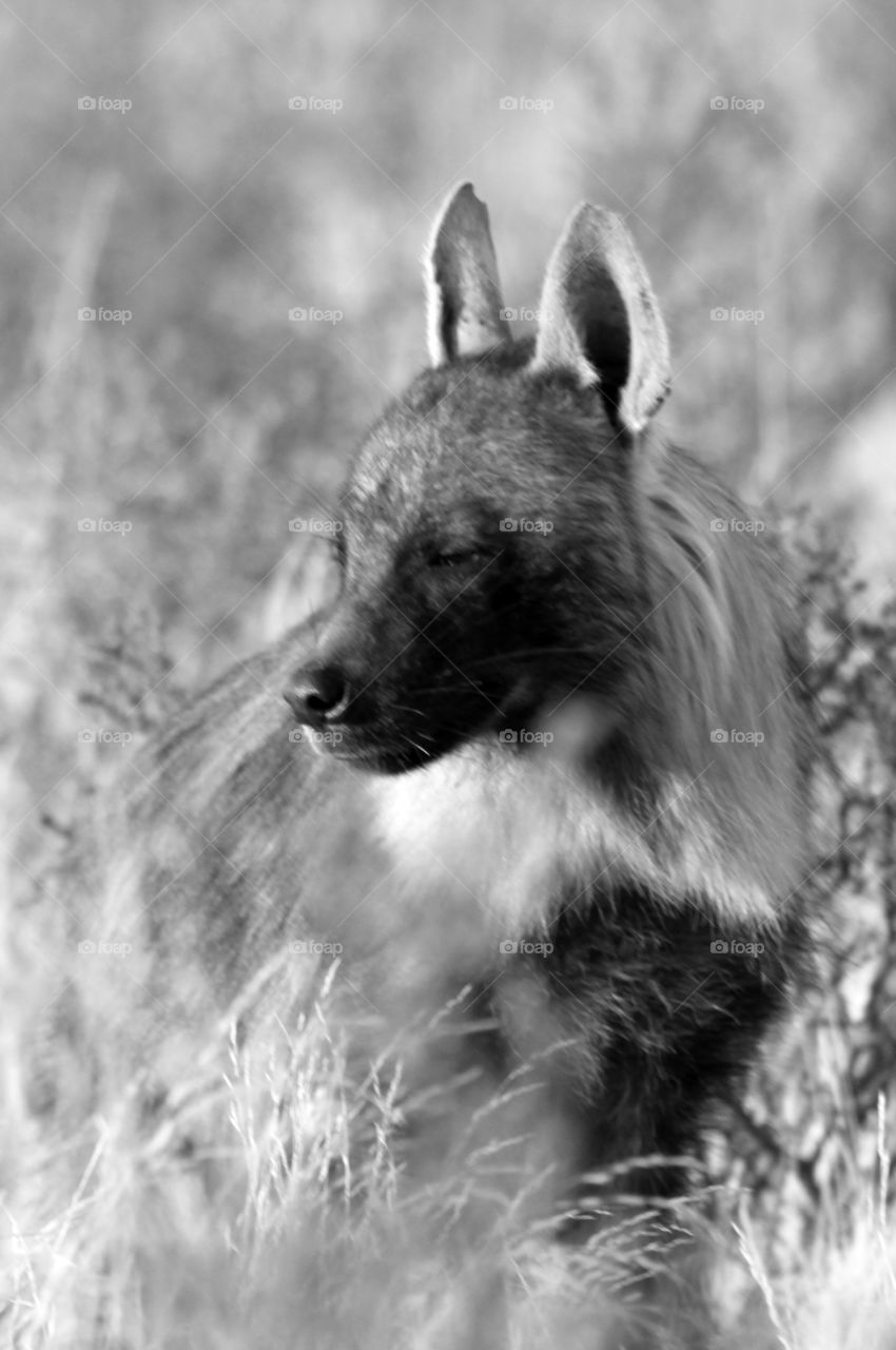 Brown hyena in black and white