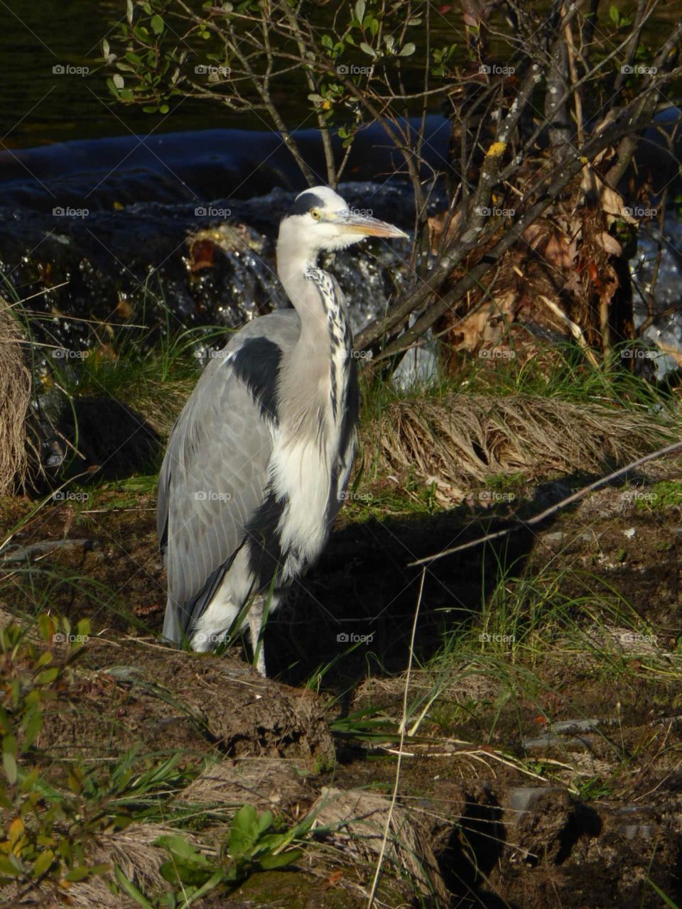 Heron on the river dee