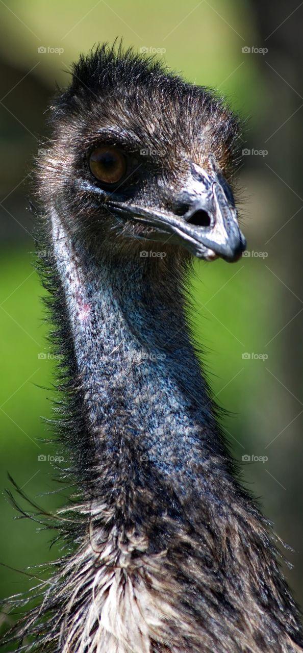 Australian Emu close up