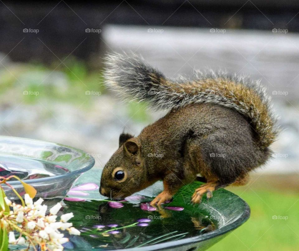 Close up of a squirrel drinking out of a water fountain in the backyard May 12th 2019