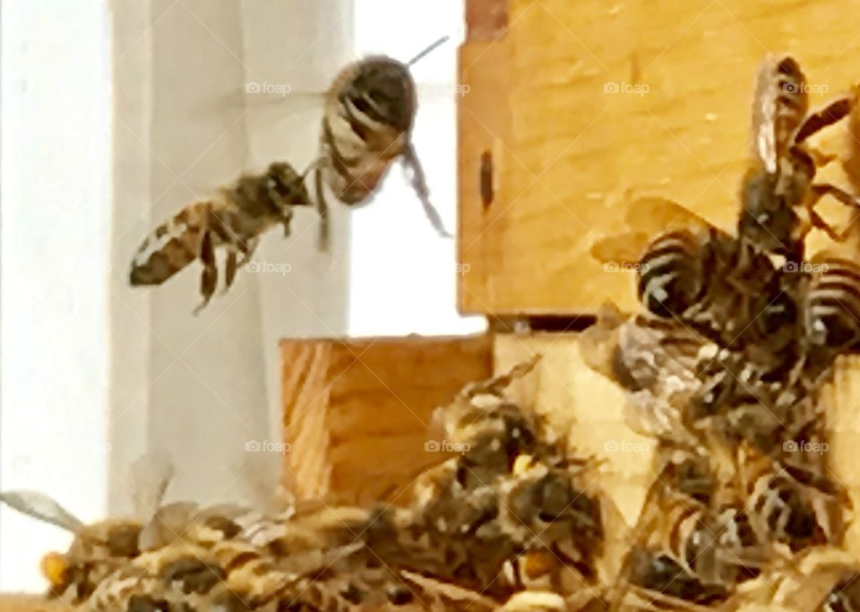 Closeup Bees Working