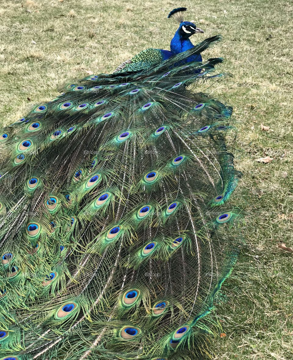 A male peacock with brilliant turquoise, blue, green, brown, black and white colors spreading its tail feathers for the mating ritual at Peterson's Rock Garden in Central Oregon on a spring day.