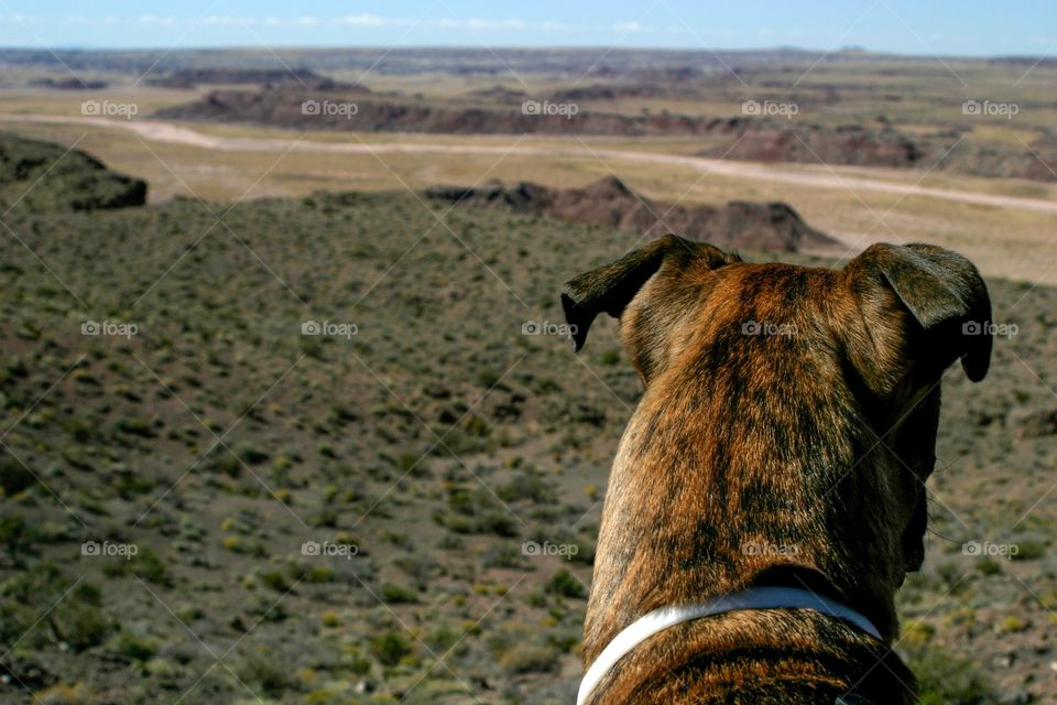 Sable dog in front of Arizona desert canyon