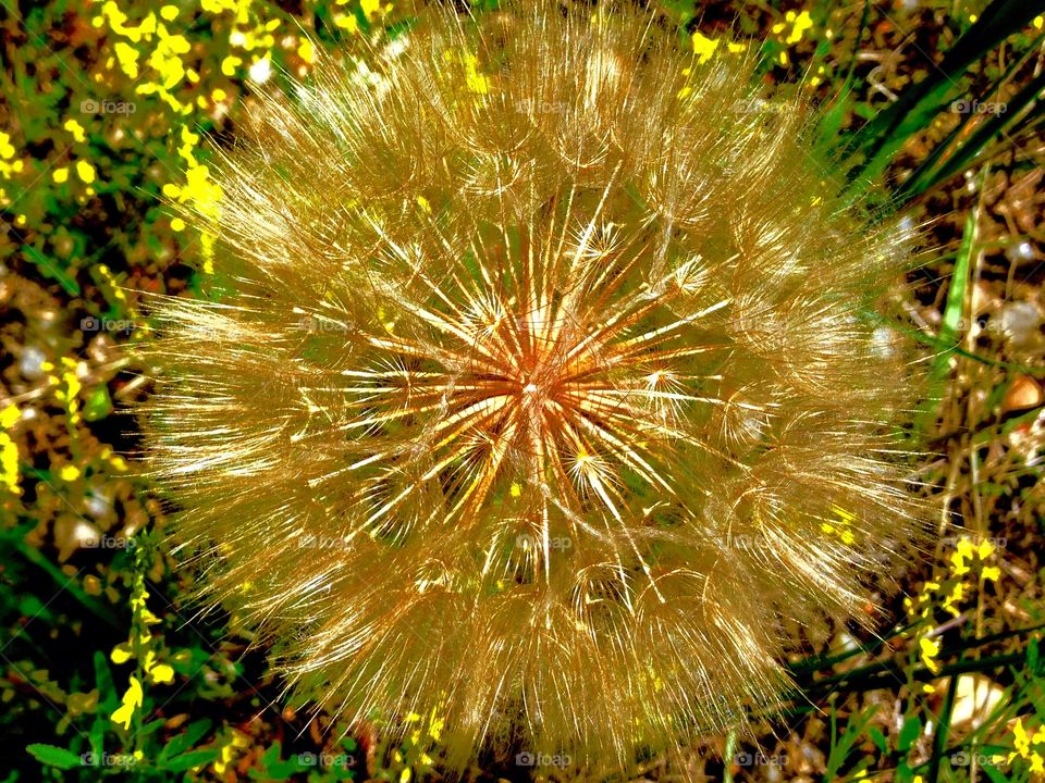 Dandy dandelion . This pesky little weed is actually beautiful