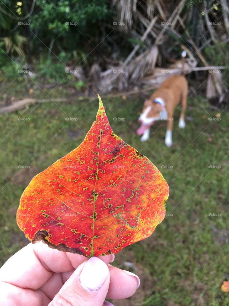 Beautiful red leaf with a pitbull in the background