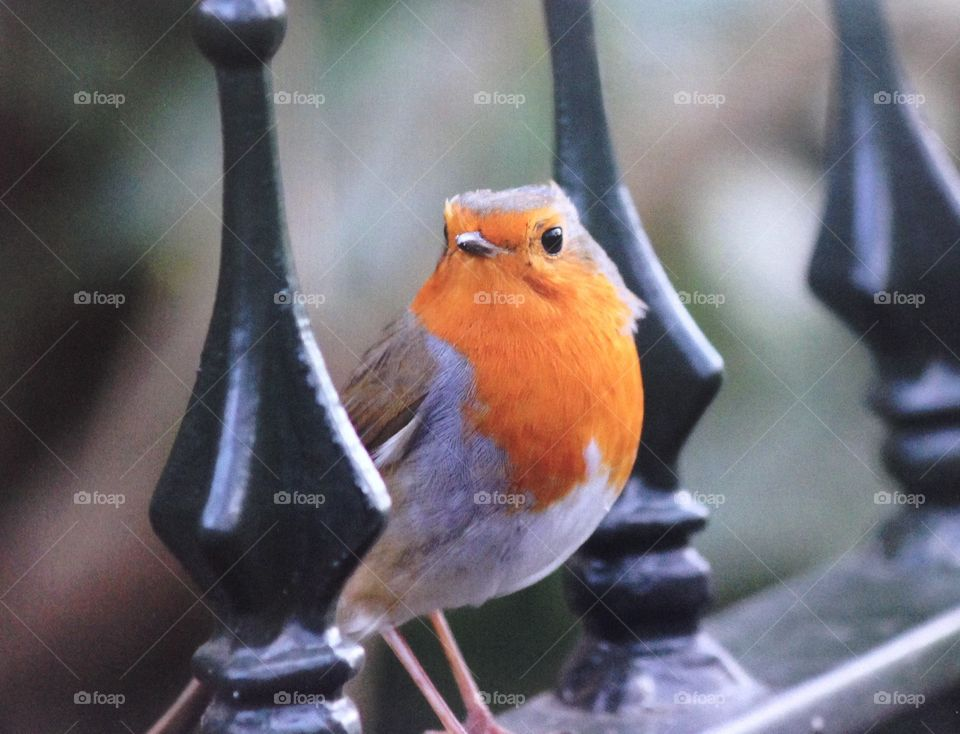 Robin red breast bird or iron fence