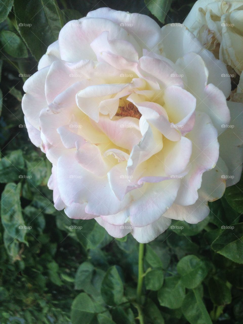 White rose with a hint of yellow and pink