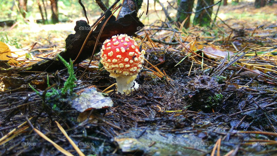 beautiful red fly agaric in the forest