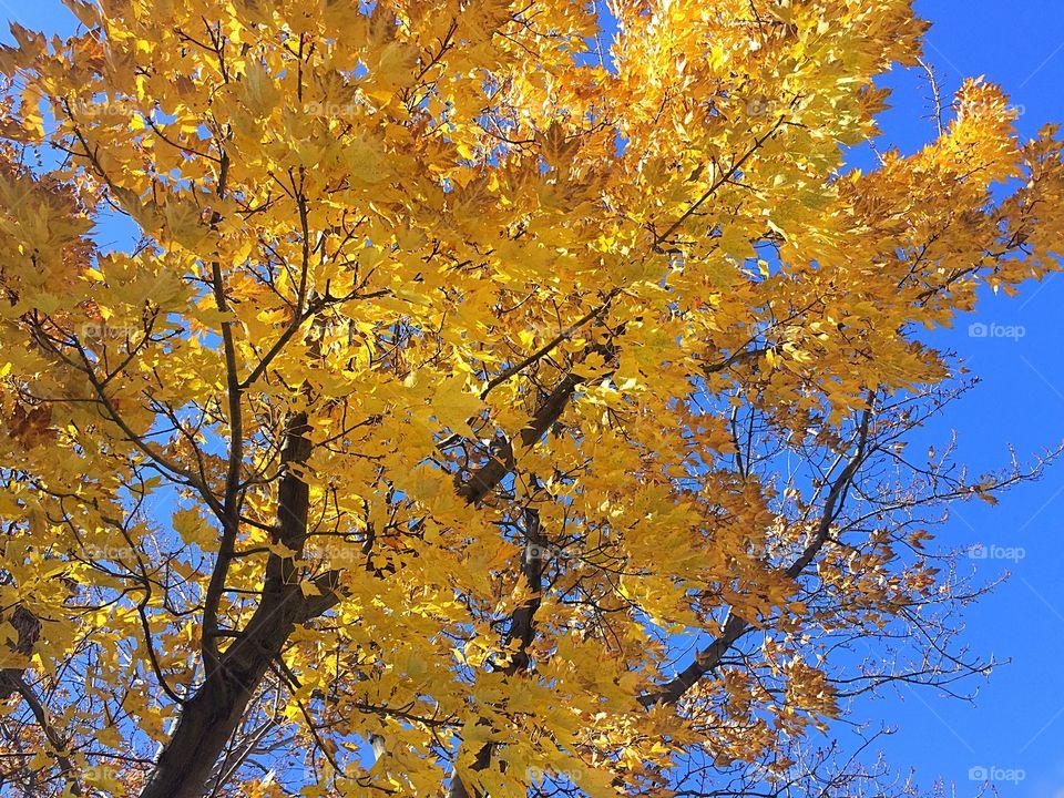 Yellow fall colour