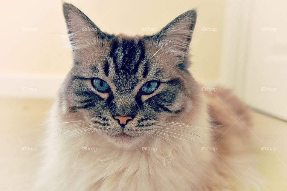 Portrait of ragdoll cat