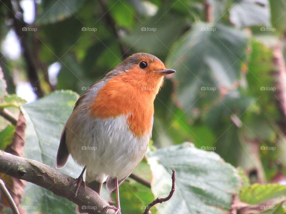 A robin perched on a branch looking inquisitive
