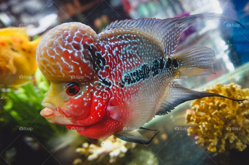 Awesome flowerhorn fish pet found at a restaurant in Vietnam. They're thought to be lucky, according to Feng Shui, and can be a very expensive fish to own with price tags above $1000.