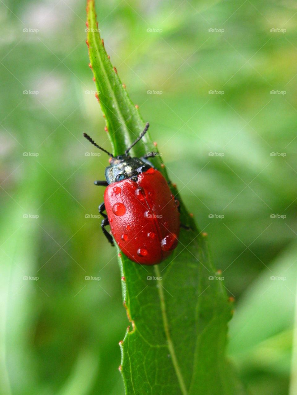 Ladybug, on green leaf