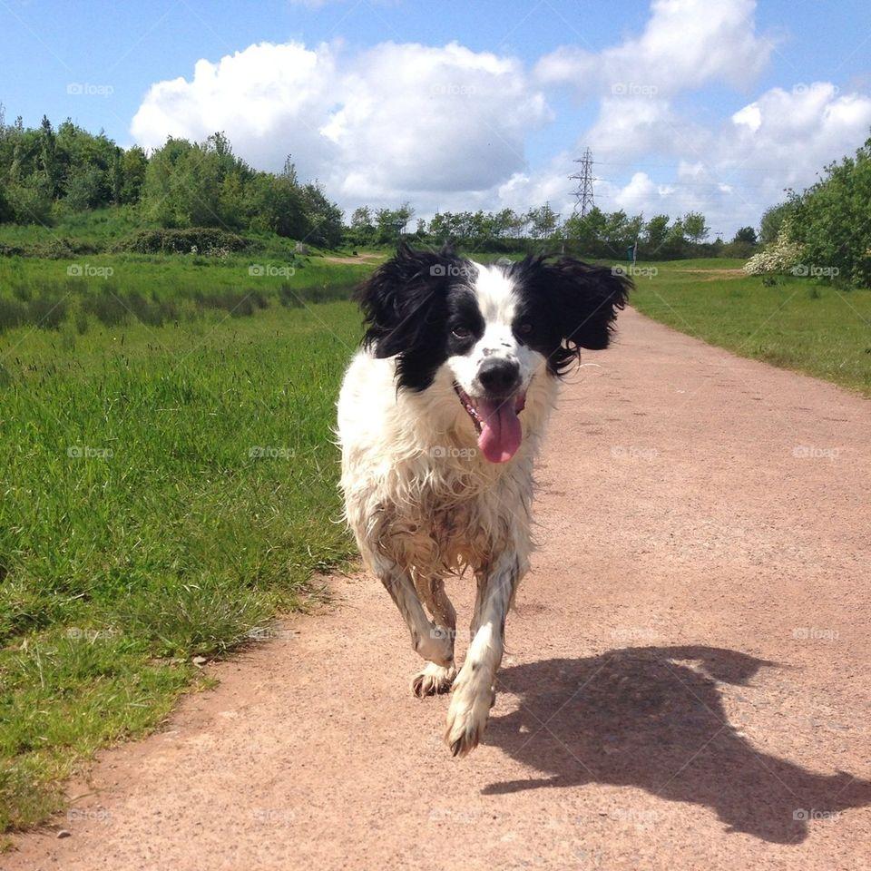 Dog ears flapping as he runs