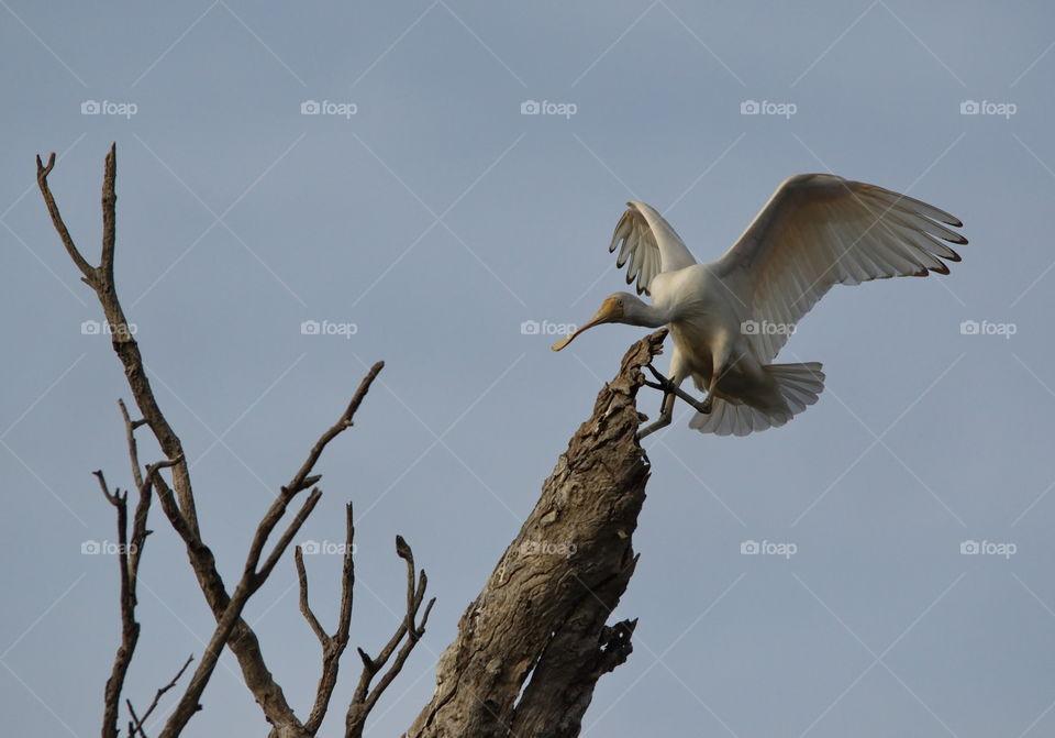 Yellow billed Spoonbill landing in a tree