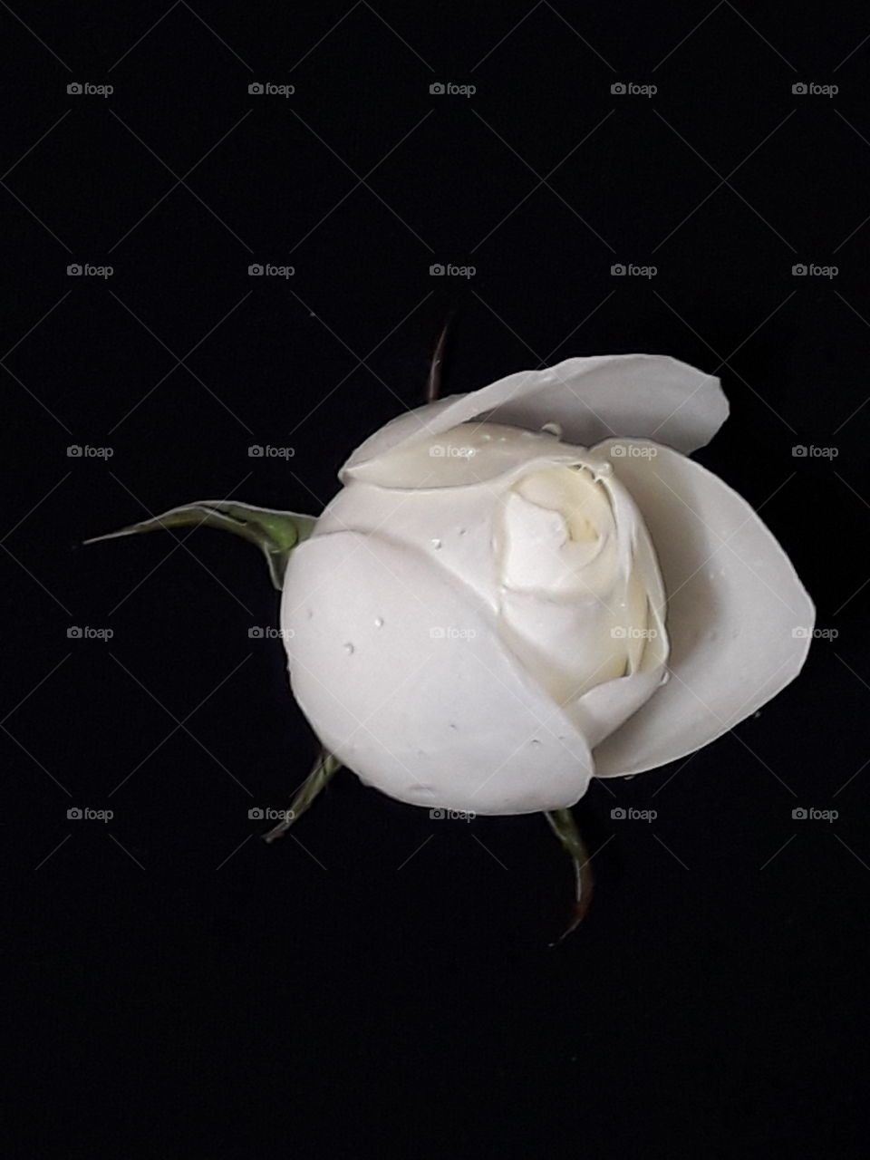 Wonderful white rose isolated on black background with clipping path