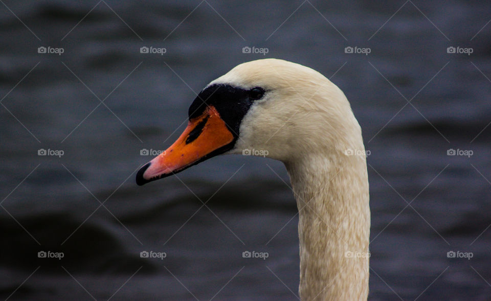 Close-up of swan's neck