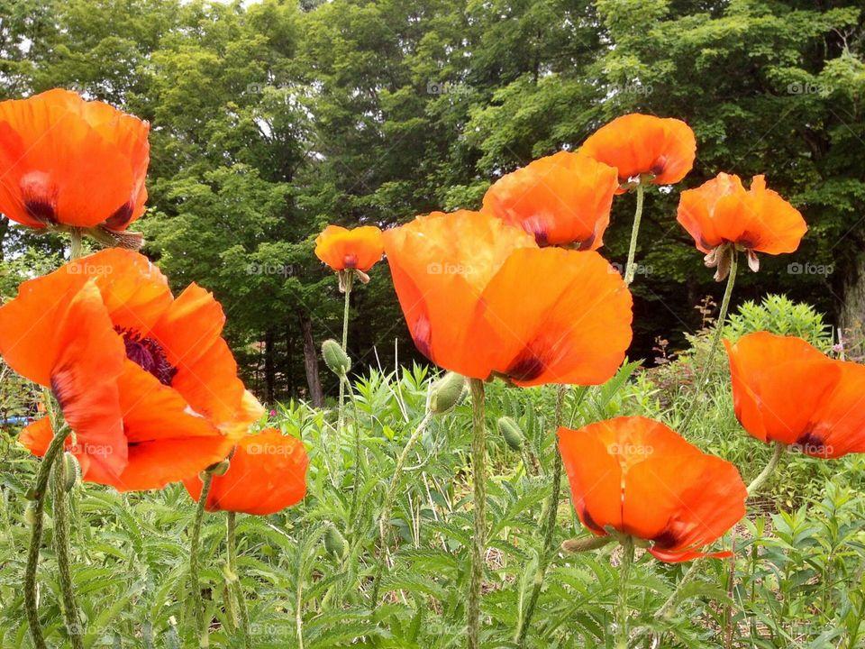 Oriental Poppies. Orange petaled Poppies