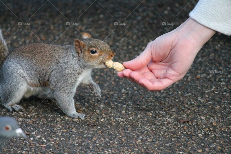 Hand feeding squirrel but