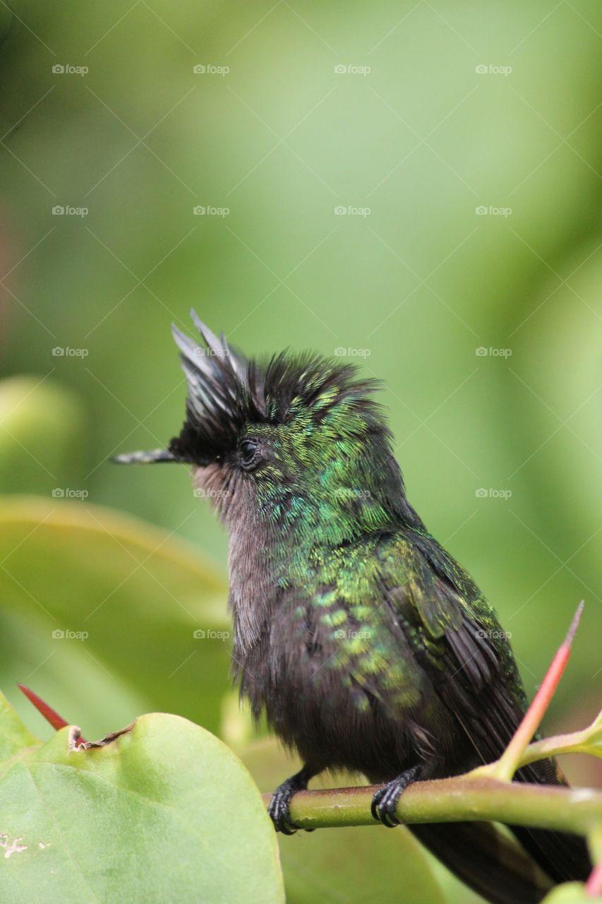 Green emerald humming bird close up