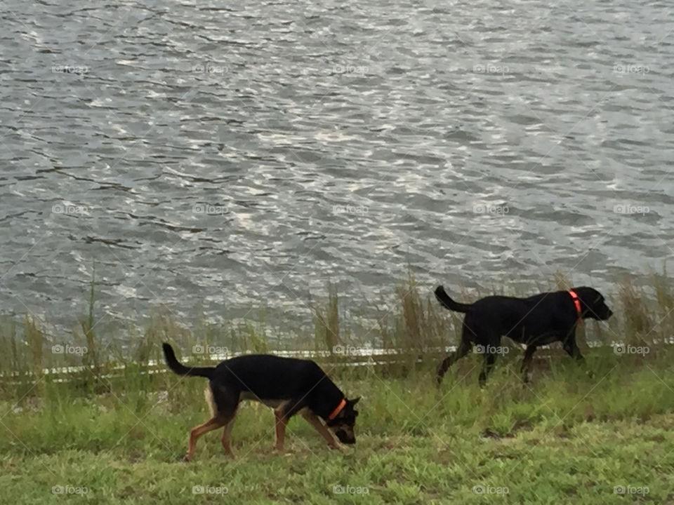 Black dogs running