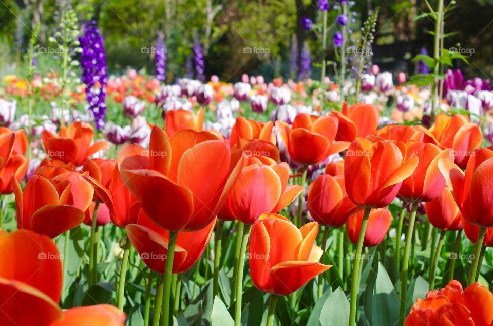Field of bright tulips