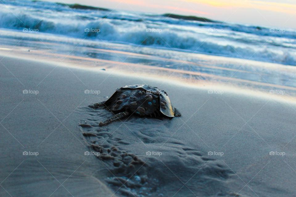 A horseshoe crab returns to the sea on Assateague Island, MD.