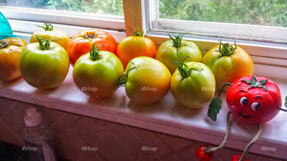 Plump, just picked red and green garden tomatoes soak up the sun on a window sill.
