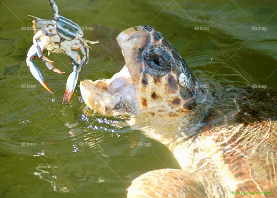 Tortoise eating a crab with mouth open in the water