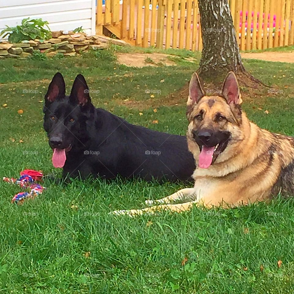 Bo & Arrow. German Shepherd brothers laying side by side in the grass.