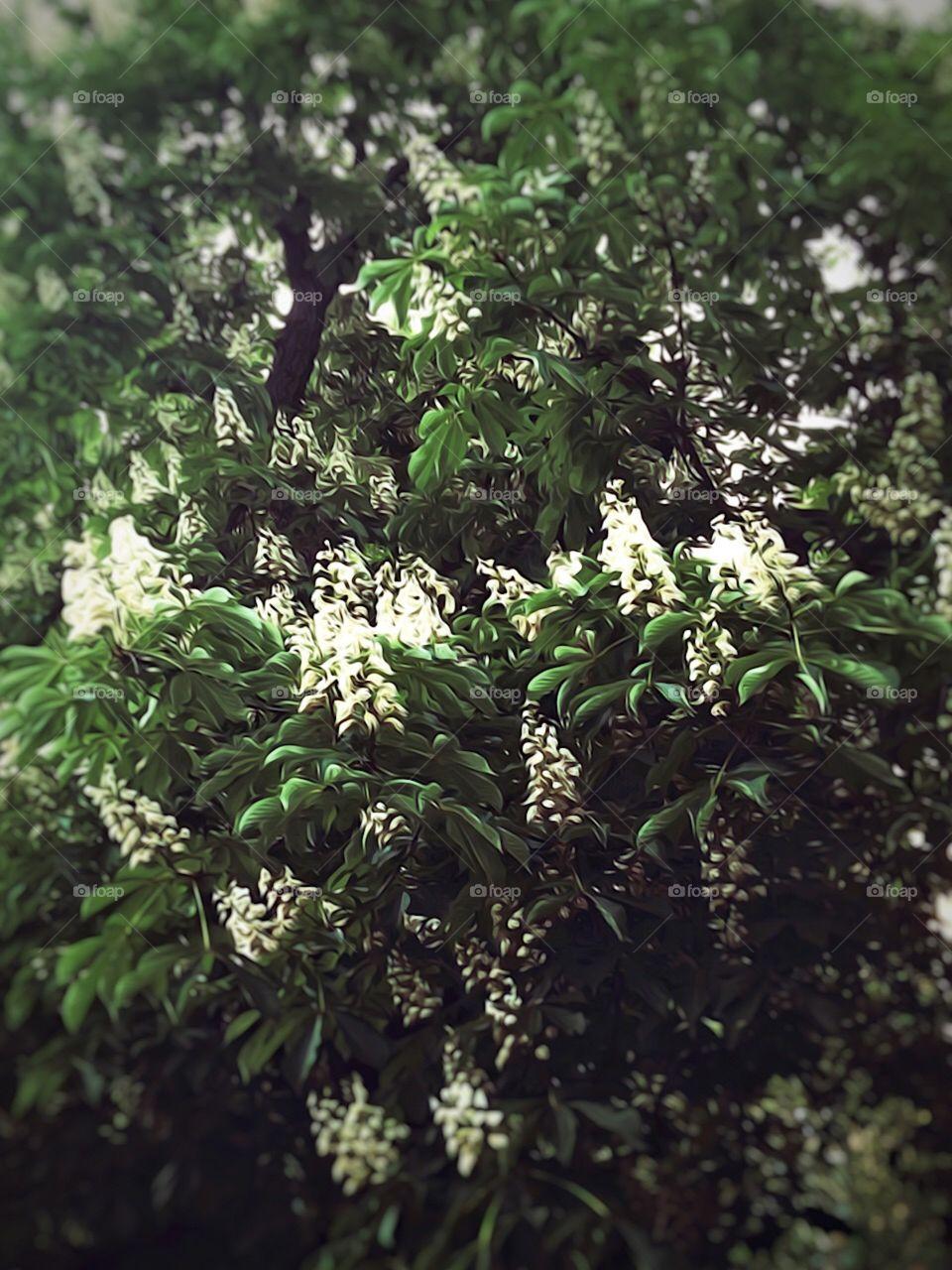 HorseChestnut Tree - Central Park, New York City. Instagram,@PennyPeronto