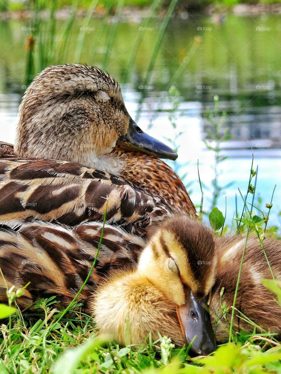 sleepy duckling