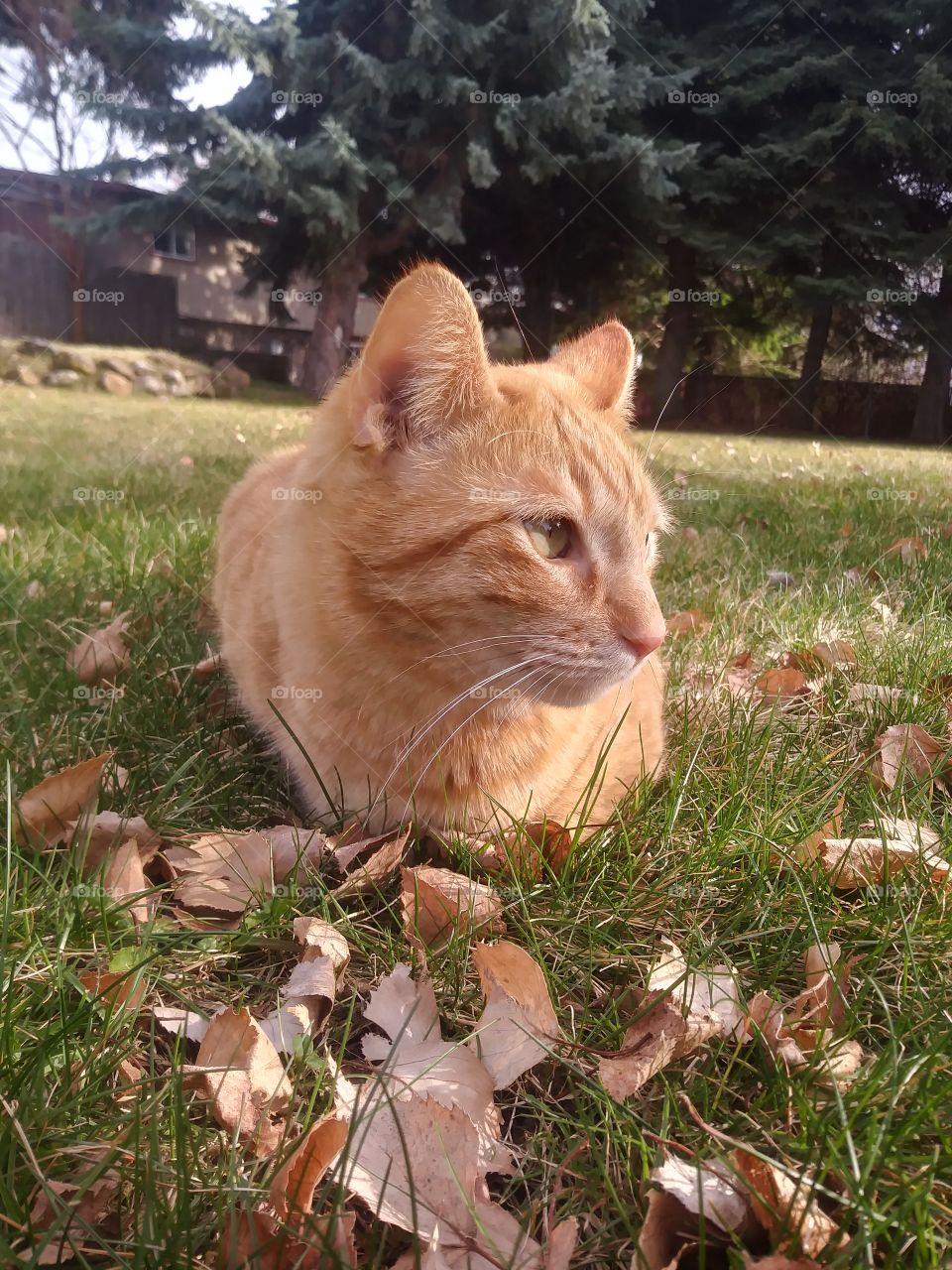 An orange cat named Butterbean in the grass 🐈