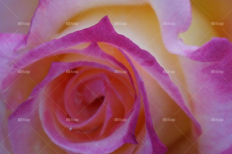Up close. Rose in bloom