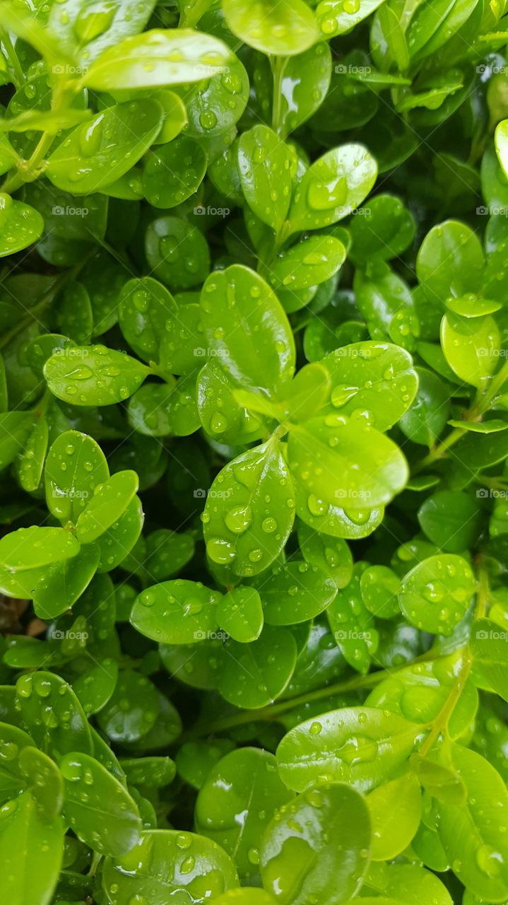 rain drop- green top