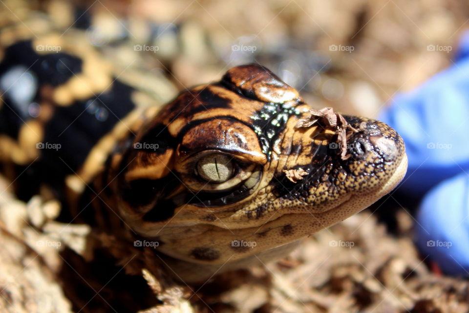 Baby Alligator close up