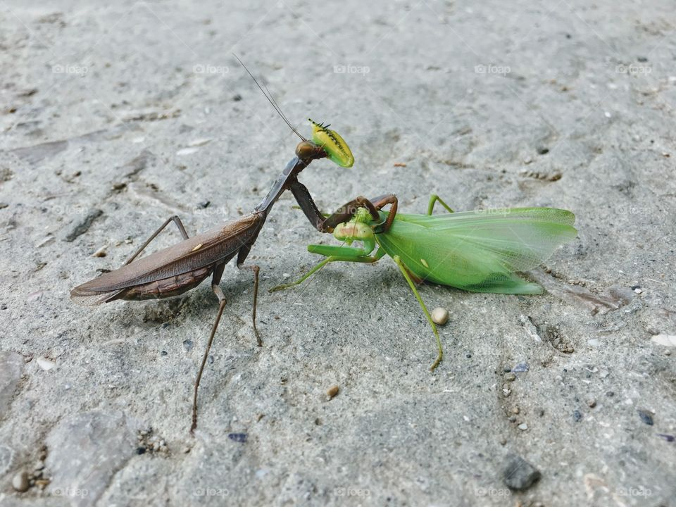 The first and the last love. Praying mantis eating it's male alive.